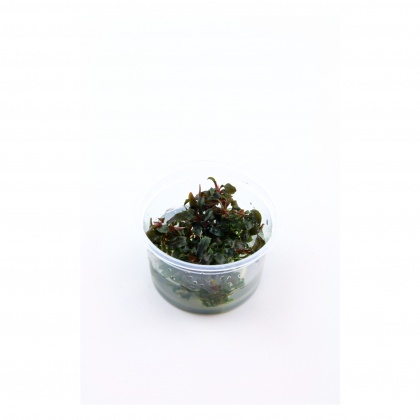 Bucephalandra 'Kedagang' 1-2-Grow! limited edition