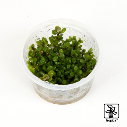 Rotala indica sp. Bonsai, in Vitro