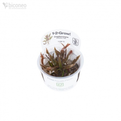 Cryptocoryne undulatus Red 1-2-Grow!