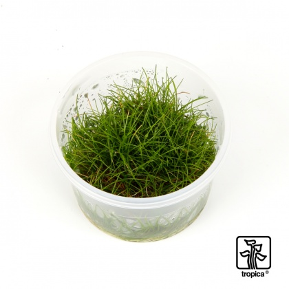Eleocharis sp. Mini 1-2-Grow!