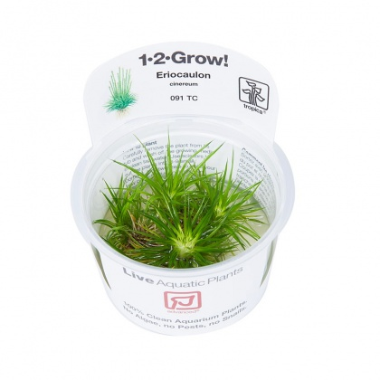 Eriocaulon cinereum 1-2-Grow!