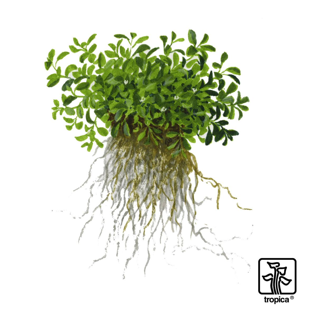 Glossostigma Elatinoides Australisches Zungenblatt Bei Biconeo Kaufen