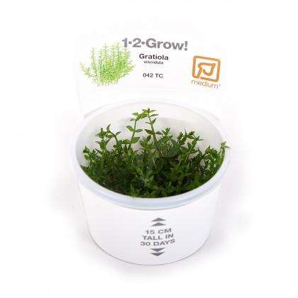 Gratiola viscidula 1-2-Grow!