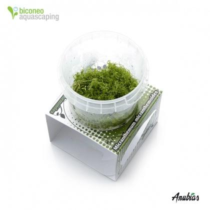 ... , In Vitro Wasserpflanzen - Seite 6 - Biconeo Aquascaping