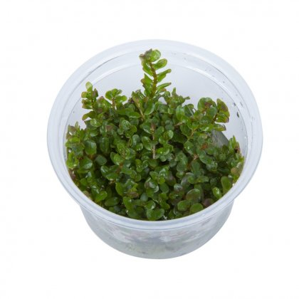 Rotala rotundifolia in Vitro