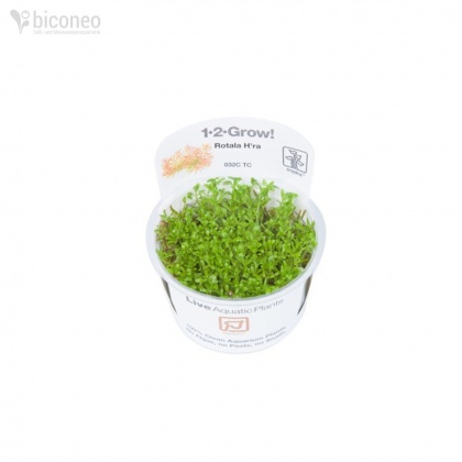 Rotala sp. Vietnam H´ra 1-2-Grow!